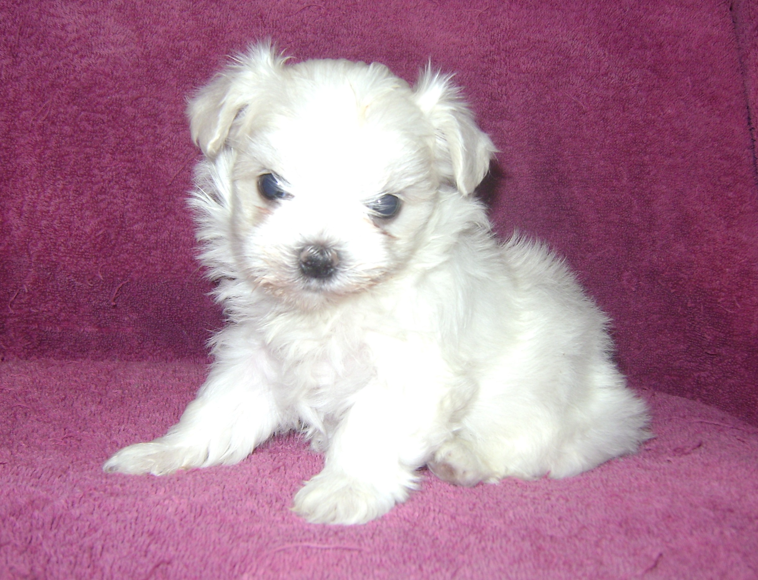 for sale in new zealand maltese puppies for sale in http www pups4sale